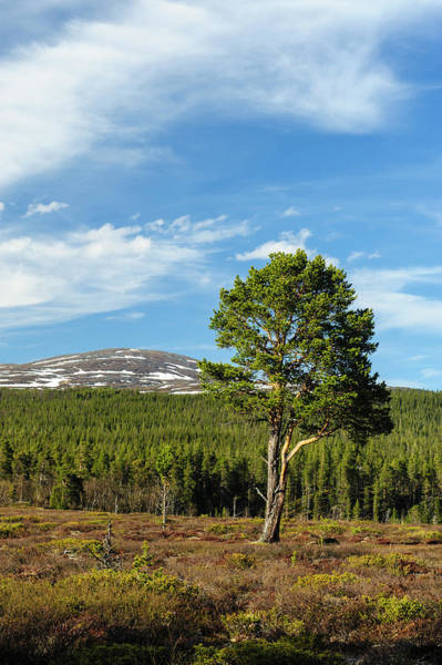 Boreal Forest Photograph - Sweden, Jamtland, Valadalen Nature by Fredrik Norrsell