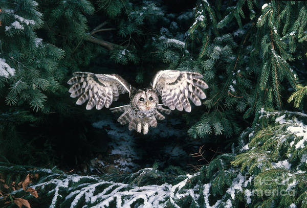 Photograph - Tawny Owl by Hans Reinhard