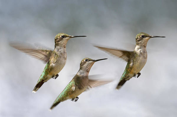 Hummingbird Wings Photograph - Trio by Betsy Knapp