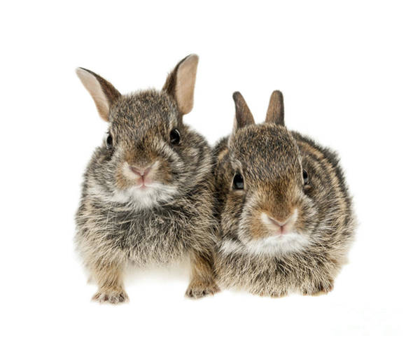 Cottontail Photograph - Two Baby Bunny Rabbits by Elena Elisseeva