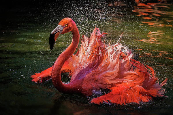 Flamingos Wall Art - Photograph - Untitled by David H Yang