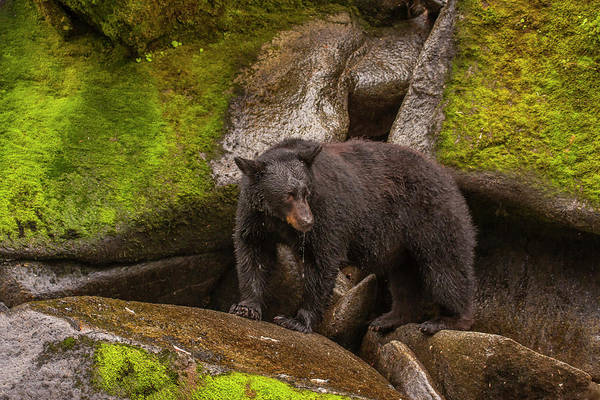 Bear Creek Photograph - Usa, Alaska, Tongass National Forest by Jaynes Gallery