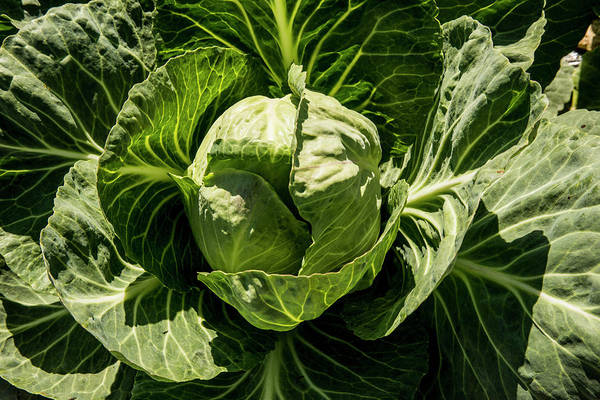 Cabbage Photograph - Usa, California, Central Valley, San by Alison Jones