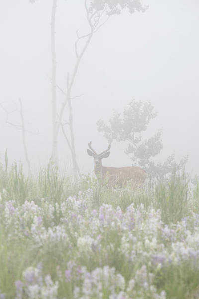 Mule Deer Buck Wall Art - Photograph - Usa, Colorado, Pike National Forest by Jaynes Gallery
