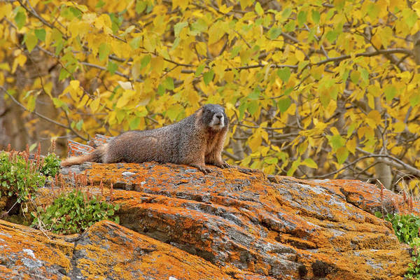 Marmot Photograph - Usa, Colorado, Rocky Mountain National by Jaynes Gallery