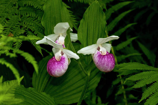 Lady Slippers Photograph - Usa, Minnesota, Lake Itasca, Itasca by Peter Hawkins