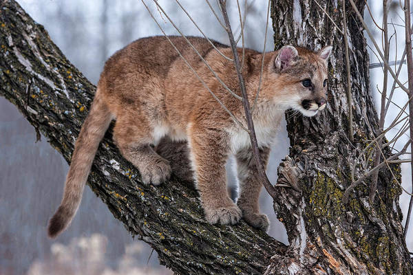 Puma Photograph - Usa, Minnesota, Sandstone by Hollice Looney