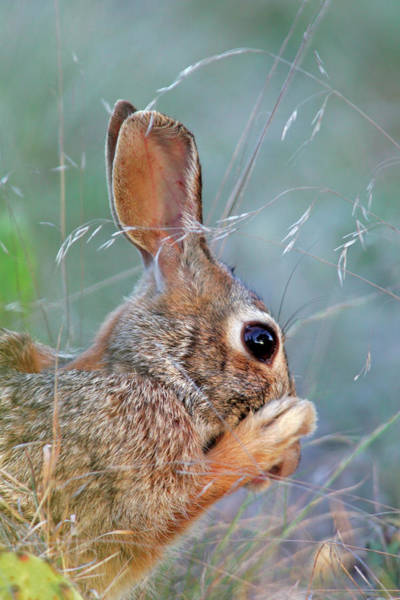 Cottontail Wall Art - Photograph - Usa, Texas, Kimble County by Jaynes Gallery
