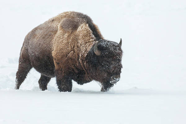 Bison Photograph - Usa, Wyoming, Yellowstone National Park by Jaynes Gallery