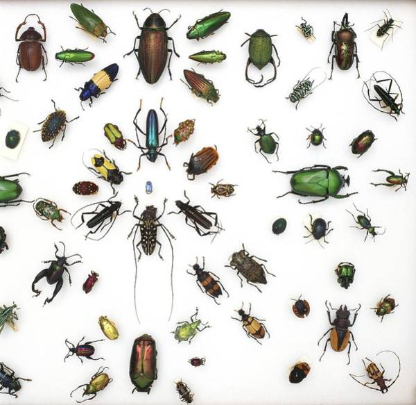 Biodiverse Wall Art - Photograph - Various Beetle Specimens by Science Photo Library
