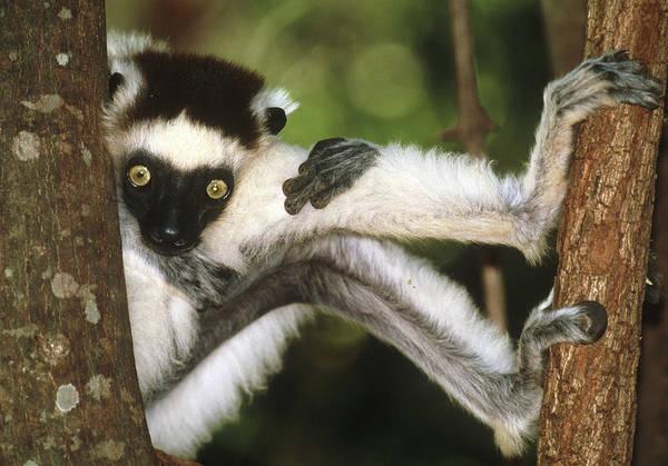 Lemur Wall Art - Photograph - Verraeaux's Sifaka Lemur by Tony Camacho/science Photo Library
