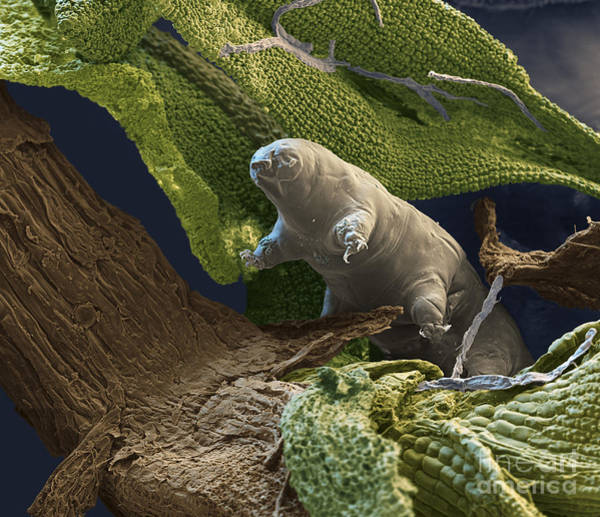Photograph - Water Bear by Eye of Science