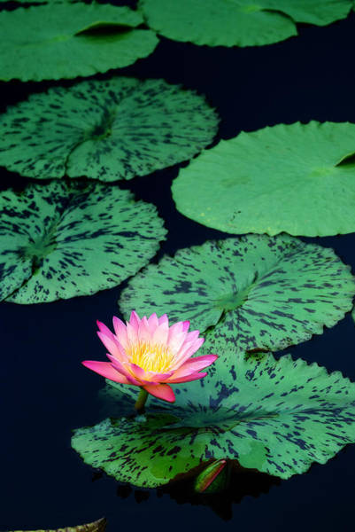 Photograph - Water Lily by Songquan Deng