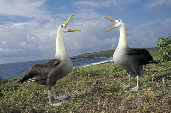 Waved Albatross Wall Art - Photograph - Waved Albatross Courtship Display by Tui De Roy