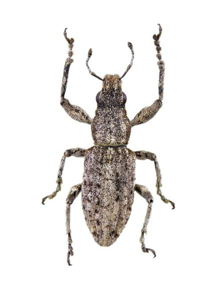 Arthropods Wall Art - Photograph - Weevil by F. Martinez Clavel