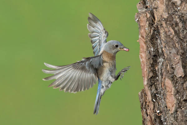Wall Art - Photograph - Western Bluebird by Anthony Mercieca
