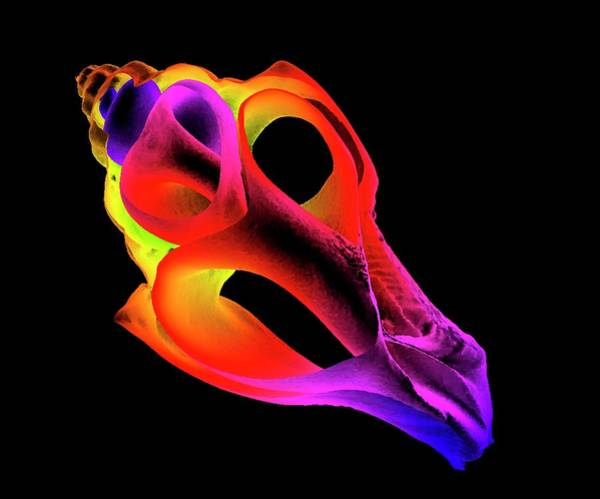 X-ray Photograph - Whelk by K H Fung