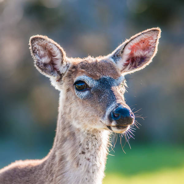 Photograph - White Tail Deer Bambi In The Wild by Alex Grichenko