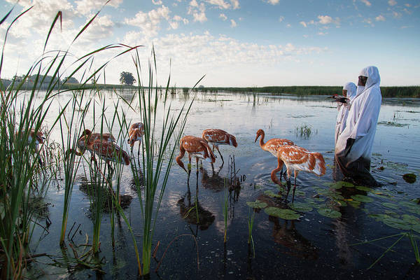 Whooping Cranes Photograph - Whooping Crane Reintroduction, Direct by Tom Lynn