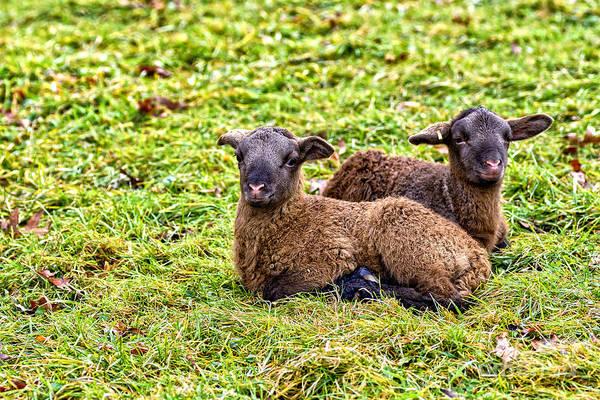 Photograph - Winter Lambs by Thomas R Fletcher
