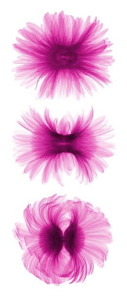 Photograph - X-ray Gerber Daisies by Ted Kinsman