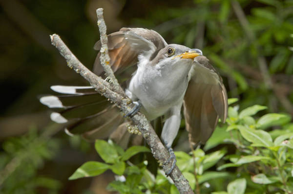 Cuculidae Photograph - Yellow-billed Cuckoo by Anthony Mercieca