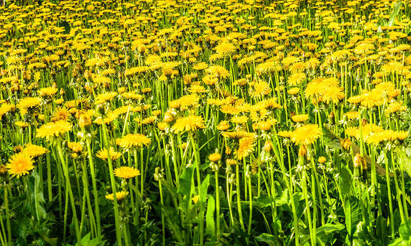 Photograph - Yellow Dandelions by Michael Goyberg