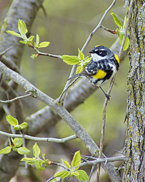 Horicon Marsh Photograph - Yellow-rumped Warbler -male- Of Horicon Marsh  by Carol Toepke