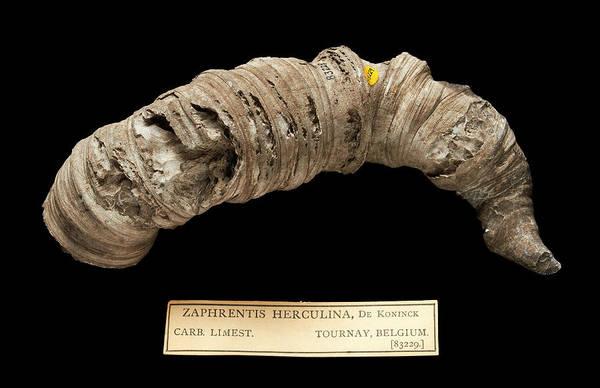 Zoological Wall Art - Photograph - Zaphrentis Herculina by Natural History Museum, London