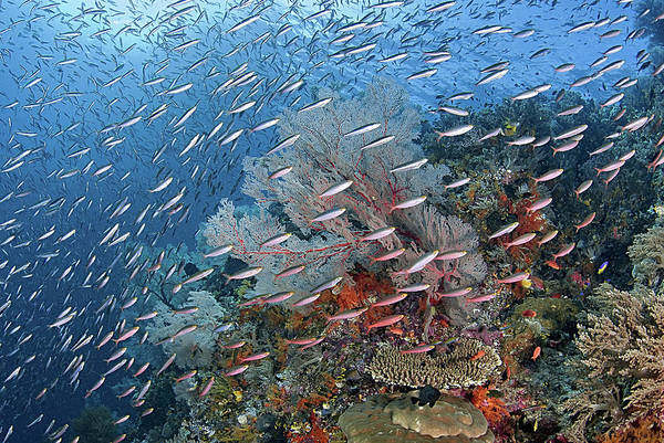 Schooling Fish Wall Art - Photograph - Indonesia, Papua, Raja Ampat by Jaynes Gallery