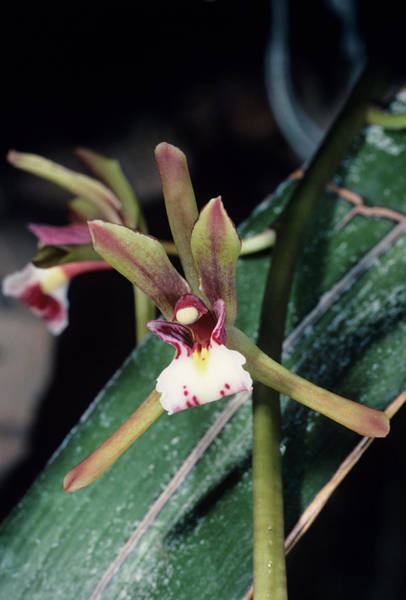 Cymbidium Photograph - Orchid Flower by Paul Harcourt Davies/science Photo Library