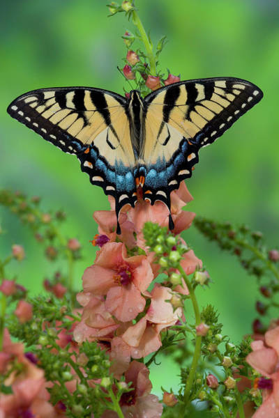 Wall Art - Photograph - Eastern Tiger Swallowtail Butterfly by Darrell Gulin