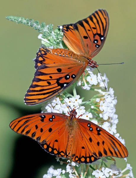 Wall Art - Photograph - Gulf Fritillary Butterfly by Millard H. Sharp