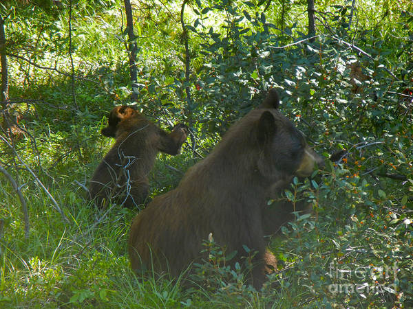 Photograph - 314p Black Bear by NightVisions