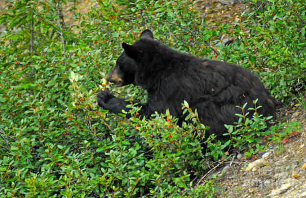 Photograph - 315p Black Bear by NightVisions