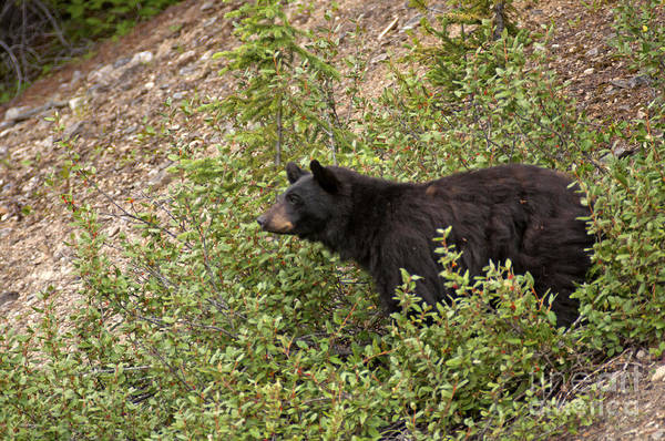 Photograph - 316p Black Bear by NightVisions