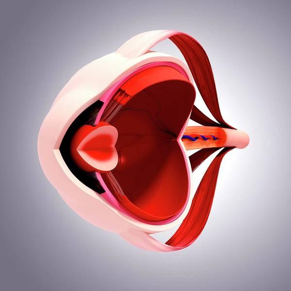 Wall Art - Photograph - Human Eye Anatomy by Pixologicstudio/science Photo Library