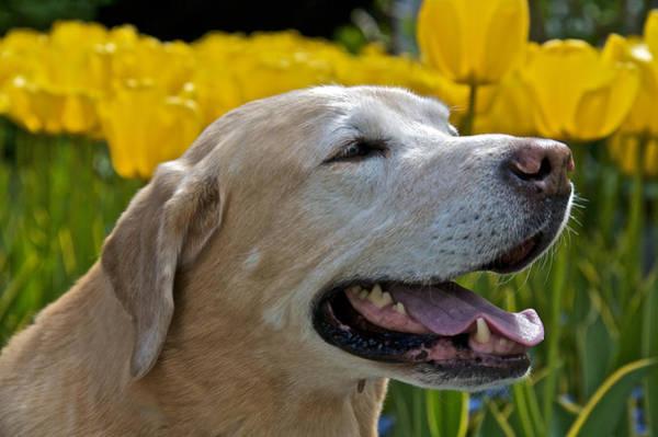 Photograph - Yellow Labrador by Steven Lapkin