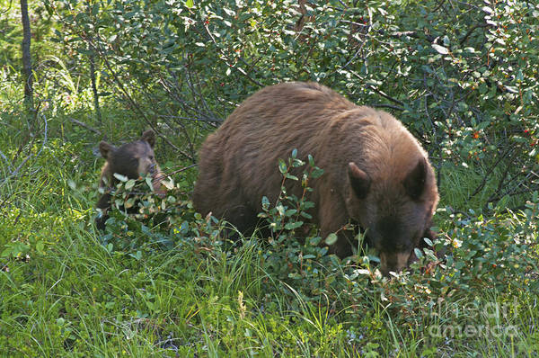 Photograph - 320p Black Bear by NightVisions