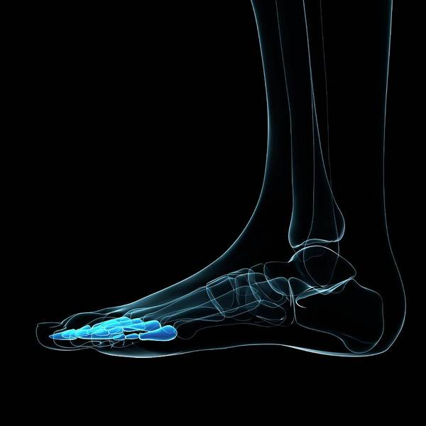 Wall Art - Photograph - Foot Bones by Sciepro/science Photo Library
