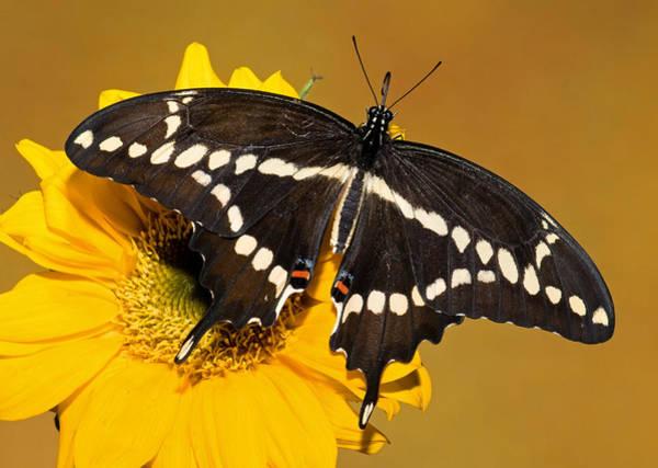 Wall Art - Photograph - Giant Swallowtail Butterfly by Millard H. Sharp