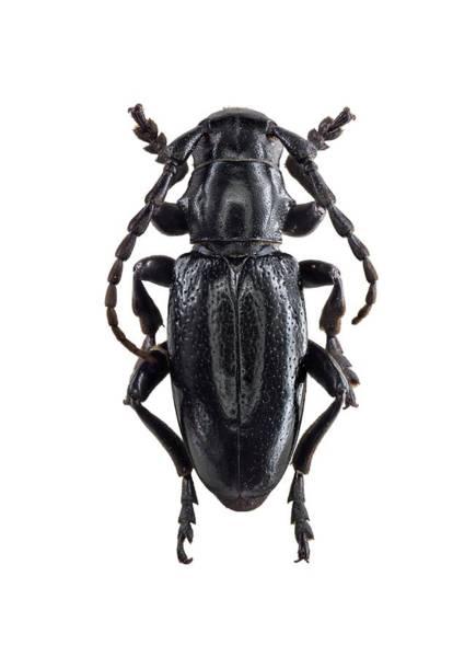 Arthropods Wall Art - Photograph - Longhorn Beetle by F. Martinez Clavel