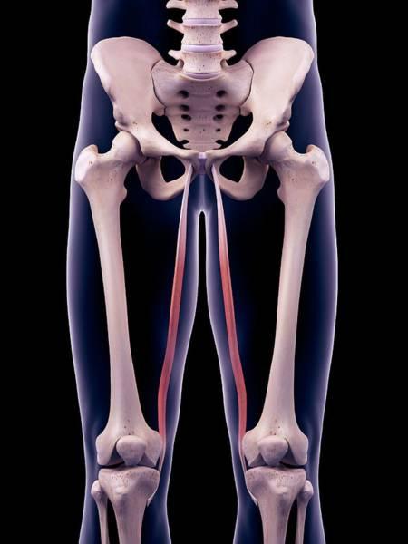 Wall Art - Photograph - Thigh Muscles by Sebastian Kaulitzki/science Photo Library