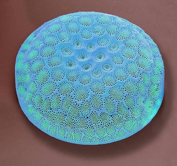 Bacillariophyceae Wall Art - Photograph - Diatom by Steve Gschmeissner