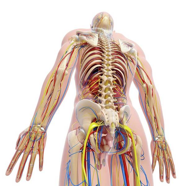 Wall Art - Photograph - Human Anatomy by Pixologicstudio/science Photo Library