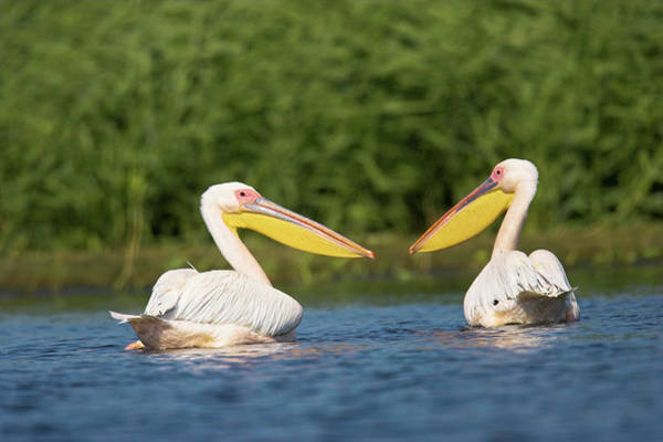 Wall Art - Photograph - Great White Pelican (pelecanus by Martin Zwick