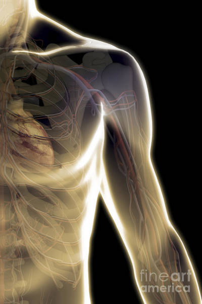 Photograph - The Cardiovascular System by Science Picture Co