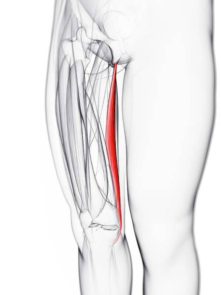 Wall Art - Photograph - Thigh Muscle by Sciepro/science Photo Library