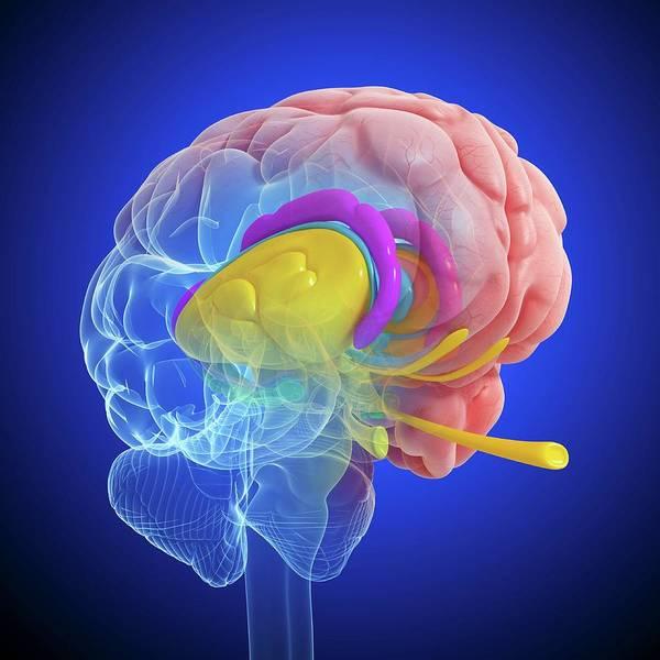 Olfactory Bulb Photograph - Brain Anatomy by Pixologicstudio/science Photo Library