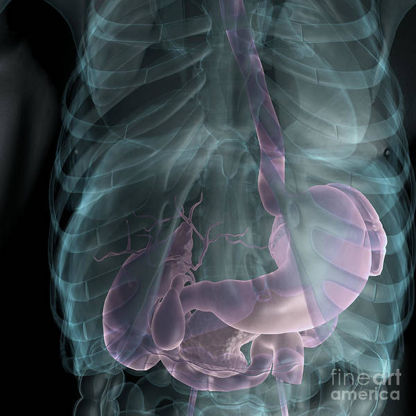 Cystic Duct Photograph - The Digestive System by Science Picture Co